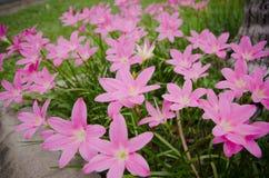 rosa Grasblume Stockbild