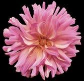 Rosa große herbstliche Blume, rosa Mitte auf einem schwarzen Hintergrund lokalisiert mit Beschneidungspfad nahaufnahme große rauh Lizenzfreie Stockbilder