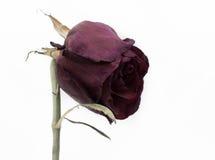 Rosa guasto Fotografia Stock