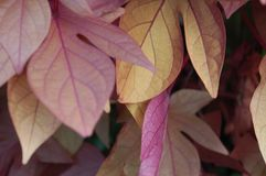 Rosa gula och purpurfärgade sidor royaltyfria bilder