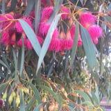 Rosa Gumnut blommor fotografering för bildbyråer