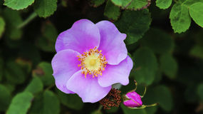 The Rosa Gymnocarpa, or Bald-Hip Rose Royalty Free Stock Image