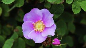 Rosa Gymnocarpa, o Calvo-cadera Rose Imagen de archivo libre de regalías