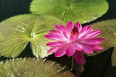 Rosa härlig lotusblomma för Lotus blomma Royaltyfria Bilder