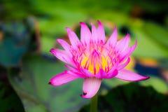 Rosa härlig lotusblommabakgrund Arkivfoto