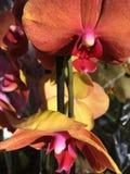 Rosa härlig orkidé Arkivfoto