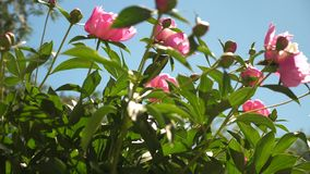 Rosa härliga blommor av pioner skakar vinden i vår i trädgården Härliga knoppar blommar Paeonialactiflora in stock video