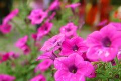 Rosa härliga blommor för blommapetuniakorgar royaltyfri bild