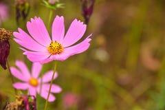 Rosa härliga blommor för kosmos med Bur-bakgrund royaltyfria foton