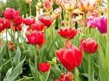 Rosa härliga tulpan i trädgården, grupp av rosa tulpan Arkivbilder