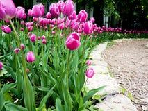 Rosa härliga tulpan i trädgården, grupp av rosa tulpan Royaltyfri Foto
