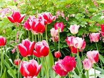 Rosa härliga tulpan i trädgården, grupp av rosa tulpan Royaltyfri Bild