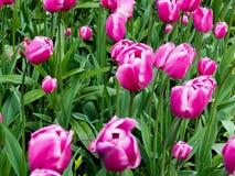 Rosa härliga tulpan i trädgården, grupp av rosa tulpan Royaltyfria Bilder