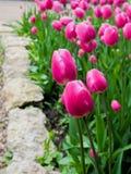 Rosa härliga tulpan i trädgården, grupp av rosa tulpan Arkivfoto