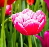 Rosa härliga tulpan i trädgården, grupp av rosa tulpan Fotografering för Bildbyråer