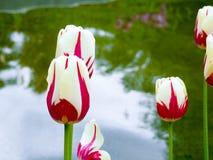 Rosa härliga tulpan i trädgården, grupp av rosa tulpan Arkivbild