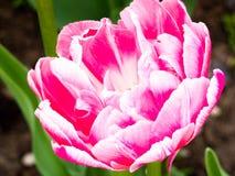 Rosa härliga tulpan i trädgården, grupp av rosa tulpan Arkivfoton