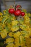 Rosa höft för engelska i höstfärg med gula sidor Fotografering för Bildbyråer