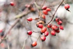 Rosa höft, röda mogna frukter för hundros Nya rå bär för briarRosa canina i trädgården Naturlig höstbakgrund Arkivbilder