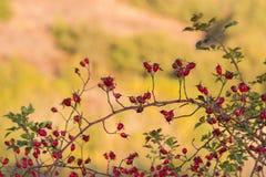 Rosa höfter och lös frukt Royaltyfri Fotografi