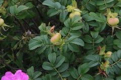 Rosa höfter på en buske med gröna sidor royaltyfri bild