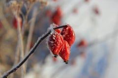 Rosa höfter som täckas med rimfrost arkivfoto