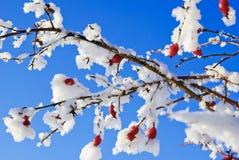 Rosa höfter täckas med rimfrost i vinter. Arkivfoton
