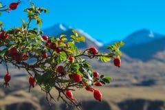 Rosa höftväxt framme av suddig bergbakgrund, Ashburton sjöar område, Nya Zeeland royaltyfria foton