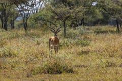 Rosa hövdad ödla i Serengetien Royaltyfri Fotografi