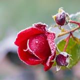 Rosa ha coperto di hoarfrost fotografia stock