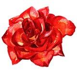 Rosa ha dipinto l'acquerello Fotografie Stock Libere da Diritti
