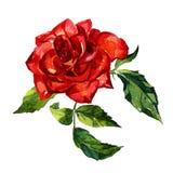 Rosa ha dipinto l'acquerello Immagini Stock