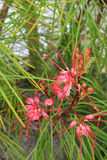 Rosa haarfeine Blumen auf stacheligem Baum Stockfotos
