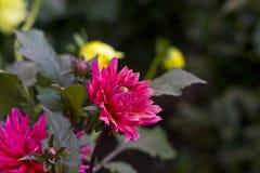 Rosa halv kaktusdahliablomma fotografering för bildbyråer