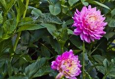 Rosa halva kaktusdahliablommor Royaltyfri Fotografi