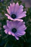 Rosa Happines Royaltyfria Bilder