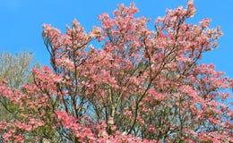 Rosa Hartriegel-Baum in voller Blüte Lizenzfreies Stockfoto