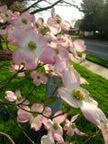 Rosa Hartriegelblüte Stockbilder