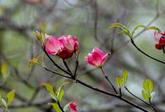 Rosa Hartriegelblüten im Frühjahr stockbilder