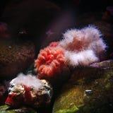 rosa havswhite för anemoner Royaltyfri Foto
