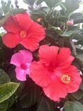 Rosa hawaiische Blumen Lizenzfreies Stockfoto