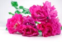 Rosa Heckenrosen des Bündels auf weißem Hintergrund Stockfoto
