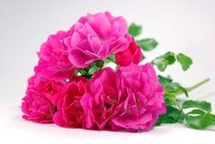 Rosa Heckenrosen des Bündels auf weißem Hintergrund Stockfotografie