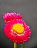 Rosa helichrysumblomma på svart Fotografering för Bildbyråer