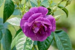 Rosa hermosa de la púrpura en jardín Imagen de archivo libre de regalías