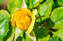 Rosa hermosa del amarillo fotografía de archivo