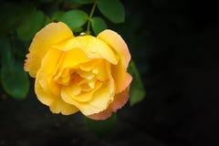 Rosa hermosa del amarillo en fondo oscuro Foto de archivo libre de regalías