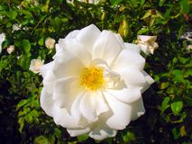 Rosa hermosa del blanco en el jardín Fotografía de archivo