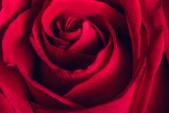 Rosa hermosa del rojo, cierre para arriba fotografía de archivo libre de regalías