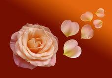 Rosa hermosa del rojo en fondo oscuro Imagen de archivo libre de regalías
